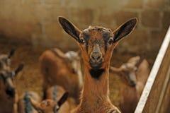 Naso di un bambino nell'allevamento delle pecore sull'azienda agricola Fotografia Stock Libera da Diritti