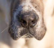Naso di un cane Macro Immagini Stock