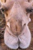 Naso e labbra del cammello Fotografie Stock Libere da Diritti