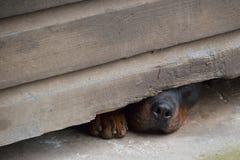 Naso e zampa del cane curioso Immagini Stock Libere da Diritti