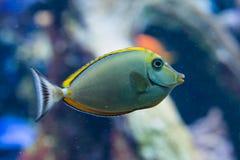 Naso Elegans - elegant unicornfish Royaltyfri Bild