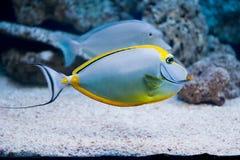 Naso lituratus - barcheek unicornfish 免版税库存照片