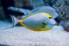 Naso lituratus - barcheek unicornfish Royalty Free Stock Image