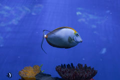 Naso lituratus floats Royalty Free Stock Photo