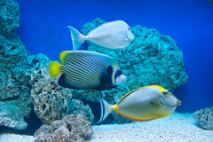 Naso lituratus, Pomacanthus imperator, Naso unicornis. Saltwater fishes royalty free stock photography