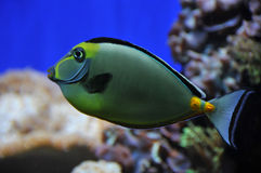 Naso tang Stock Photography