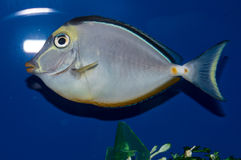 Naso Tang. The Naso Tang, also known as the Orangespine Unicornfish, darkens with maturity. Naso Tangs from Hawaii are often more brightly colored than those royalty free stock photos