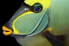 Naso tang fish Stock Images