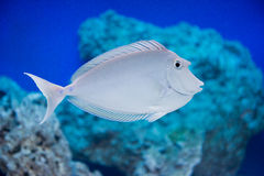 Naso unicornis - bluespine unicornfish Royalty Free Stock Images