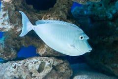 Naso unicornis - bluespine unicornfish Stock Image