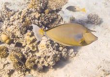Naso Unicornis Mar Rojo Egipto Imagenes de archivo