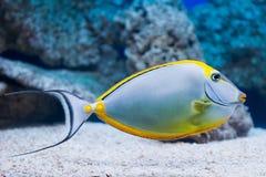 Nasolituratus - barcheek unicornfish stock afbeelding
