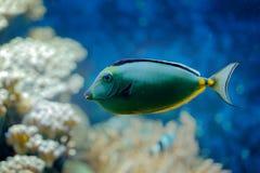 Nasolituratus, Vreedzame oranje-stekel unicornfish, de habitat van het aardwater Blauw water met mooie gele blauwe vissen Dier in stock afbeeldingen