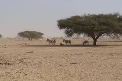 Nasomaculatus аддакса аддакса антилопы и одичалые ослы Стоковое Изображение