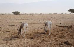 Nasomaculatus аддакса аддакса антилопы Стоковая Фотография RF