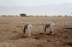 Nasomaculatus аддакса аддакса антилопы Стоковые Фотографии RF