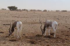 Nasomaculatus аддакса аддакса антилопы Стоковые Изображения