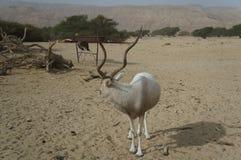 Nasomaculatus аддакса аддакса антилопы Стоковое Изображение RF