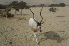 Nasomaculatus аддакса аддакса антилопы Стоковая Фотография
