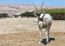 Nasomaculatus van antilope addax Addax Stock Foto's