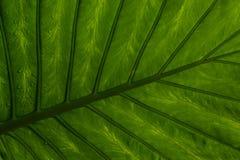 Nass Blatt eines tropischen Baums schoss von unterhalb lizenzfreie stockbilder
