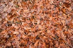 Nass orange gefallene Eiche lässt Lüge auf Gras und Moos in einer Herbstwiese, emotionaler flacher gelegter saisonalhintergrund lizenzfreie stockfotografie