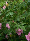 Nass rosa Blume der wilden Rose stockfoto