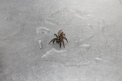 Nass Spinne Browns unter Wassertropfen auf Stahlwannenoberfläche lizenzfreie stockbilder