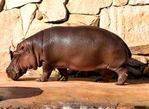 Nass Stellung des großen Flusspferds im Zoo stockfotografie