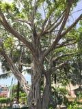 Nassau Bahamas - träd Arkivfoto