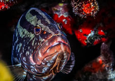 Nassau groupe,(Epinephelus striatus. Nassau grouper,Epinephelus striatus, is one of the large number of perciform fishes in the family Serranidae Royalty Free Stock Photo