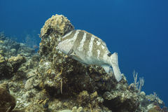Nassau grouper. Big nassau grouper swimming in an coral reef stock photos