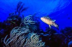 Nassau grouper,Epinephelus striatus Royalty Free Stock Photo