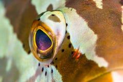 Nassau Grouper gałka oczna Zdjęcie Royalty Free