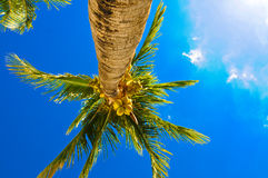 Nassau palm royalty-vrije stock foto's
