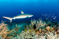 Nassau Reef with Shark Royalty Free Stock Photography