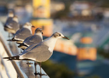 Nassau Seagulls. Seagulls watching the city of Nassau down bellow during the sunset (The Bahamas stock images