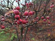 Nasse Beeren des Morgens Stockfotos