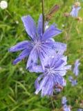 Nasse blaue Blumen Stockfoto