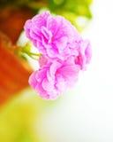 Nasse Blumen des rosafarbenen Frühlinges Stockfoto