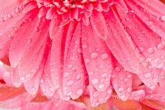 Nasse Blumenblätter der Nahaufnahme von Gerbera Stockfotografie