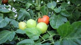 Nasse frische Tomaten auf einem Dampf Stockfoto