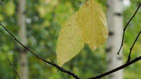 Nasse gelbe Blätter des Pflaumenbaums auf Zweig im Regen stock video footage