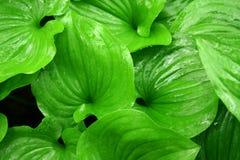 Nasse Grün-Blätter Stockbilder