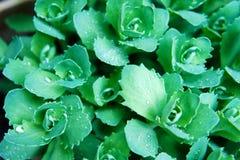 Nasse Grünblätter in der nahen Ansicht lizenzfreies stockbild