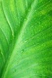 Nasse grüne Blattnahaufnahme Lizenzfreie Stockbilder