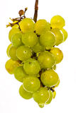 Nasse grüne Trauben auf Weiß Stockbilder