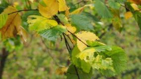 Nasse grüne und gelbe Blätter des Ulmenbaums auf Zweig stock video footage