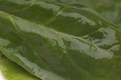 Nasse grüne Spinats-Blätter Stockfoto