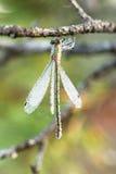Nasse hängende Libelle Lizenzfreie Stockfotos